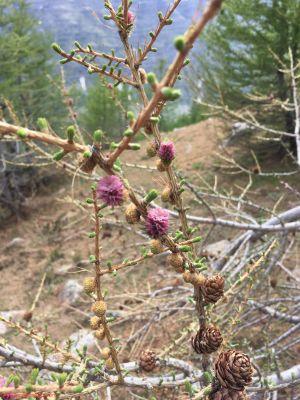 Les fleurs de mélèze