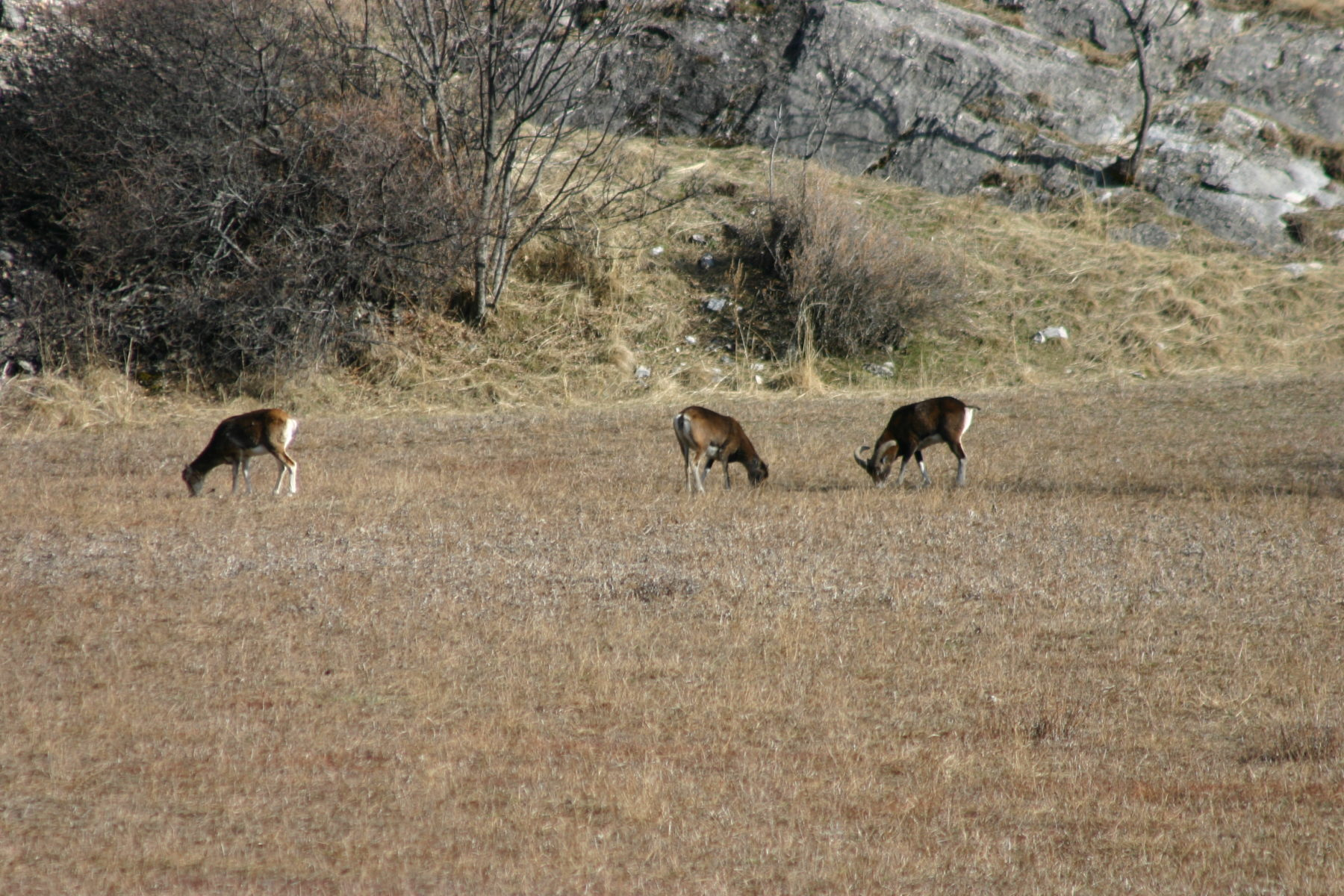 Mouflons, Rencontre surprise de printemps:  des mouflons !